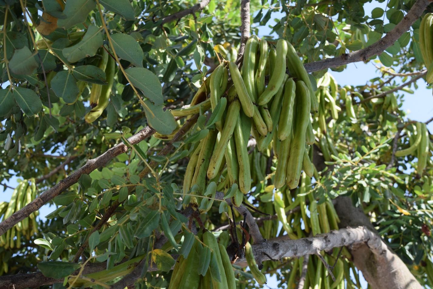 Сироп из плодов рожкового дерева